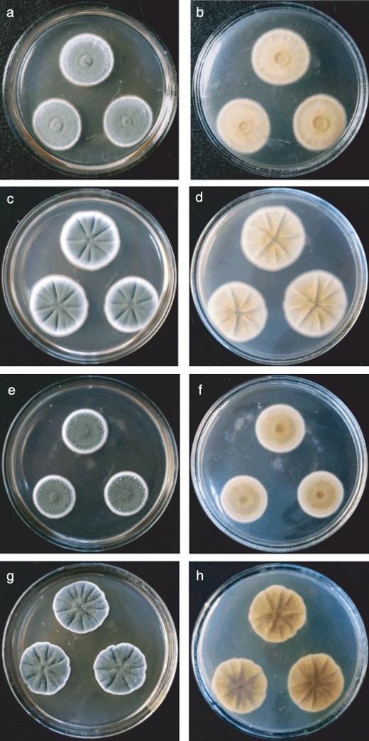 Гриб Penicillium allii в чашці петрі. Збудник захворювання часнику Пеніцильоз часнику. Блакитна, зелена плісень