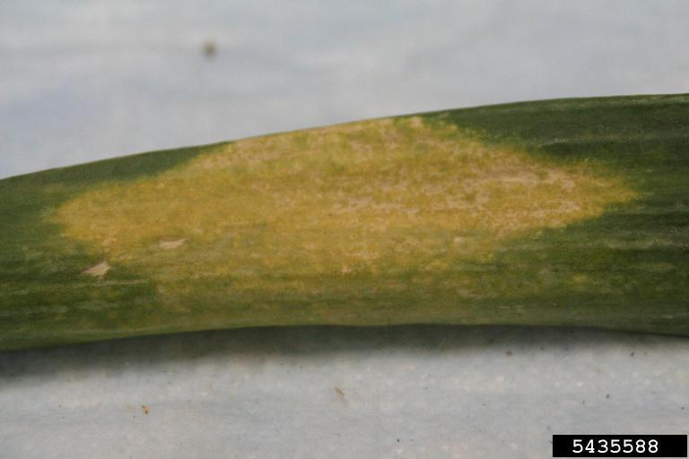 Лист лука с симптомами заболевания - пероноспороз ложная мучнистая роса чеснока и лука