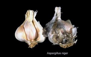 Болезни и вредители чеснока и лука - черная плесень , фото