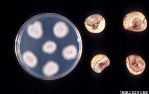 Хвороби та шкідники часнику і цибулі - фузаріоз часнику, фото