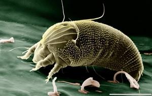 Болезни и вредители чеснока и лука - четырехногий клещ, фото