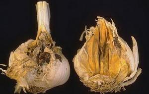 Болезни и вредители чеснока и лука - шейковая гниль, фото