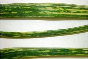Вірус жовтої карликовості цибулі на часнику фото симптомів