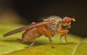 Хвороби та шкідники часнику і цибулі - часникова муха, фото
