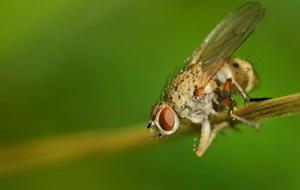 Болезни и вредители чеснока - луковая муха, фото