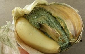 Хвороби та шкідники часнику і цибулі - пеніцильоз синя пліснява часнику , фото