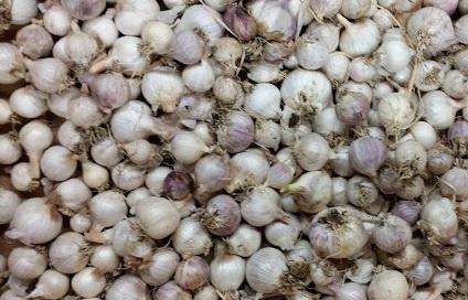 Семена чеснока - однозубка (сеянка)