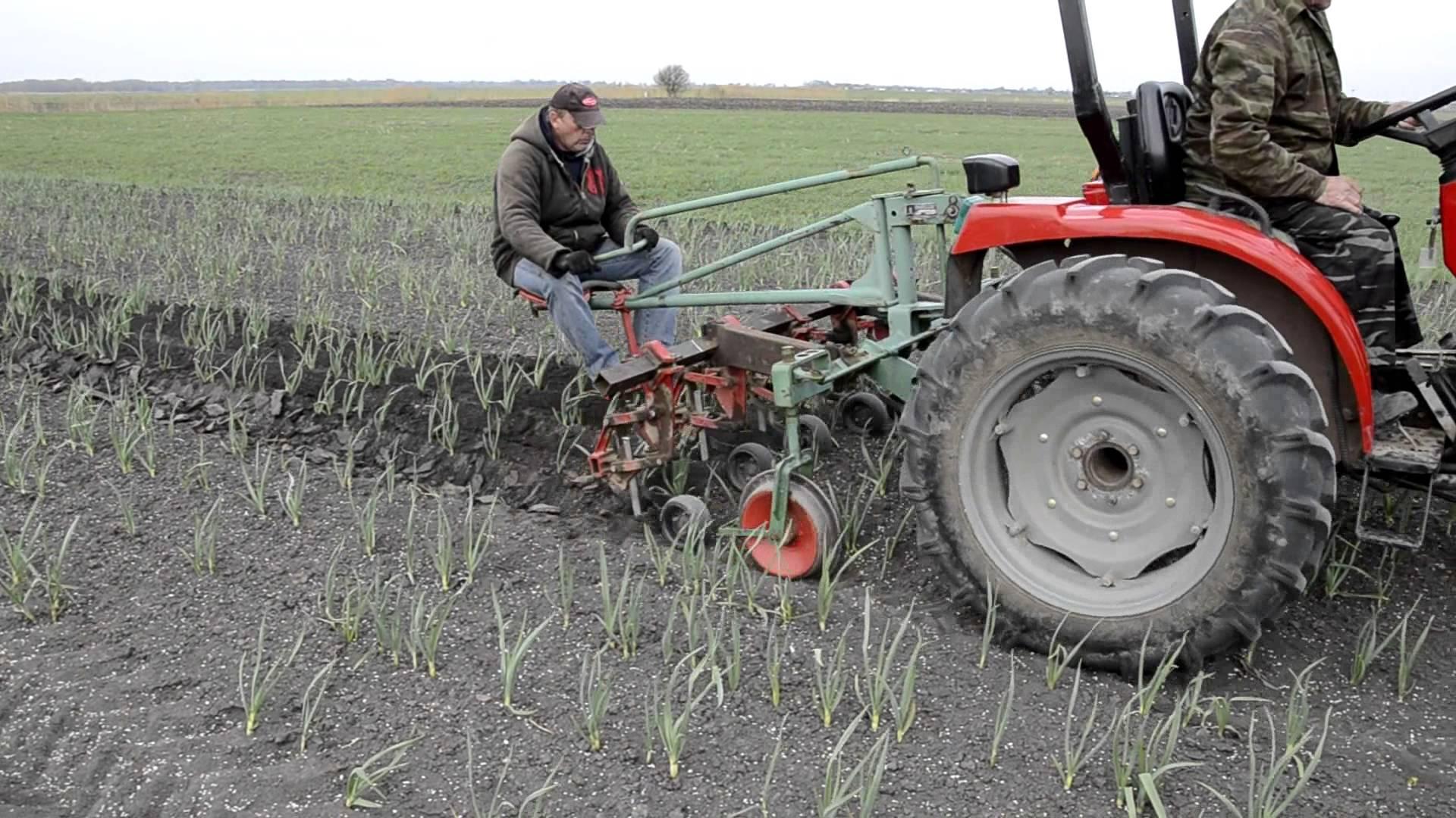 культивация чеснока на поле