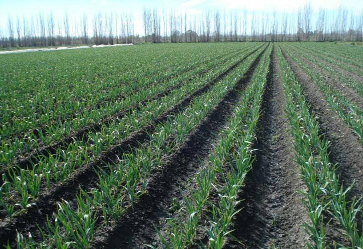 поле чеснока в Аргентине