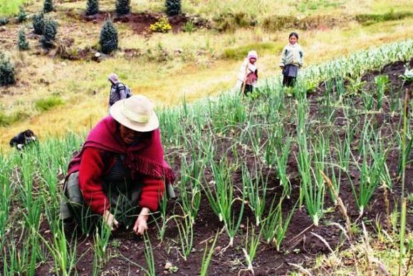 Выращивание чеснока в Перу