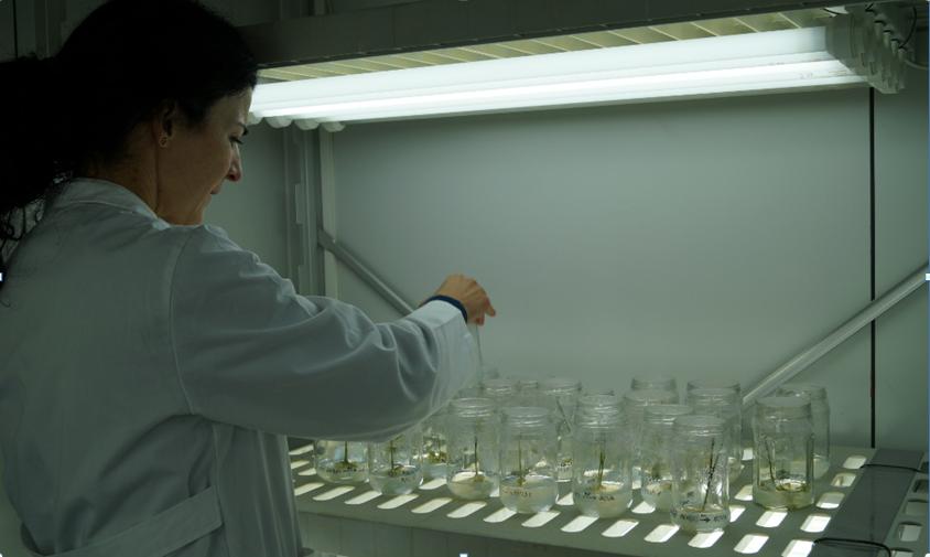 вирощування часнику з пробірки (ін вітро) invitro та in vitro