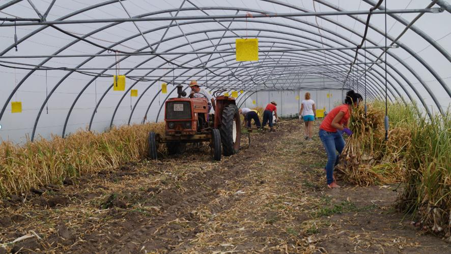 выращивание чеснока в теплице