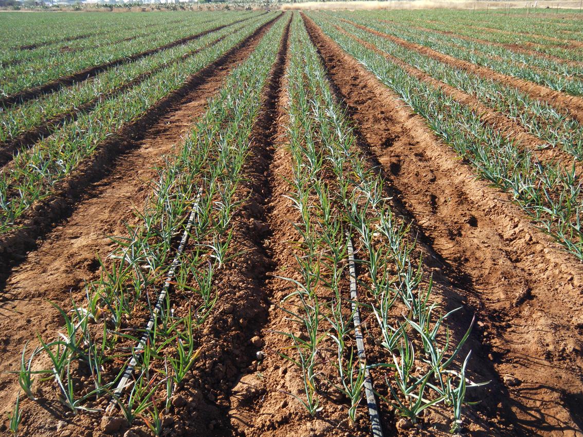 Технология выращивания озимого чеснока на кубани 11