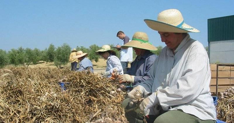 Испания - рабочие сортируют выращенный чеснок
