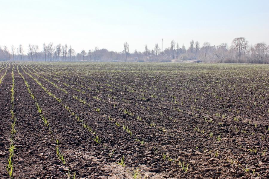 поле чеснока в марте 2016 года