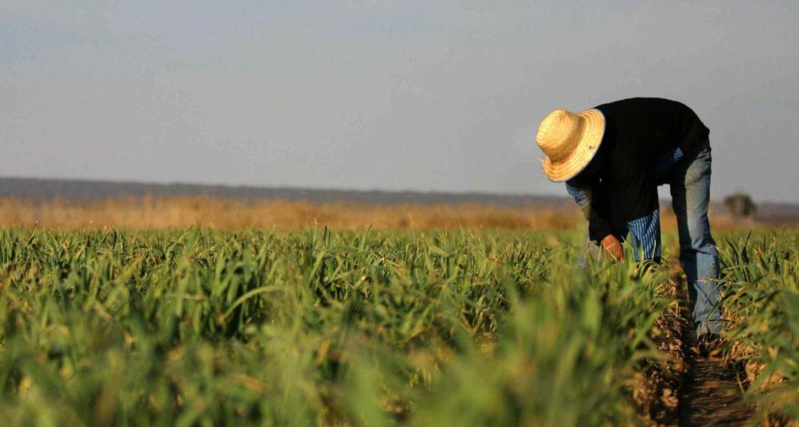 Аргентинский фермер осматривает побеги чеснока на поле