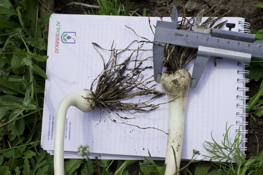 замер луковицы чеснока в мае 2016 года штангенциркулем на поле компании УкрАп (UkrUP)