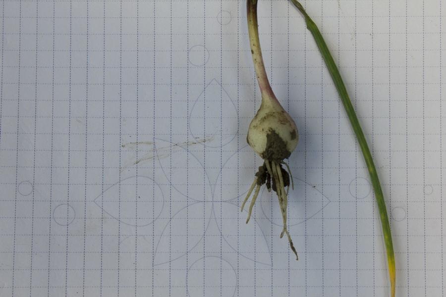 молодая луковица однозубки чеснока на поле компании УкрАп (UkrUP) в мае 2015 года