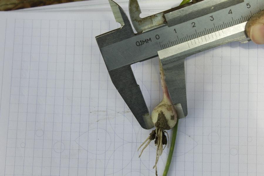 замер диаметра однозубки чеснока штангенциркулем в мае 2016 года на поле компании УкрАп (UkrUP)