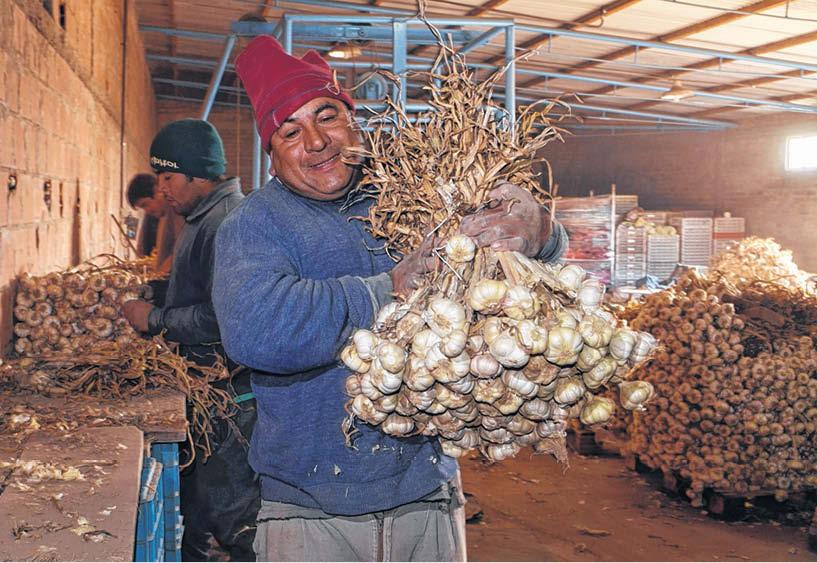 Мужчина в Аргентине держит большой пучок чеснока в руках