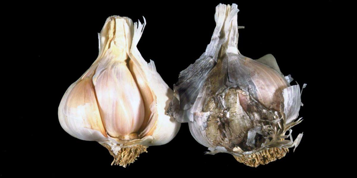 Симптомы поражения заболеванием чеснока и лука - черная плесень (аспергиллез), фото