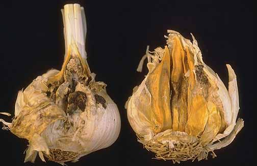 Шейковая гниль чеснока (шийкова гниль часнику, botrytis neck rot) фото
