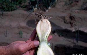 Болезни и вредители чеснока и лука - мягкая мокрая бактериальная гниль чеснока и лука, фото