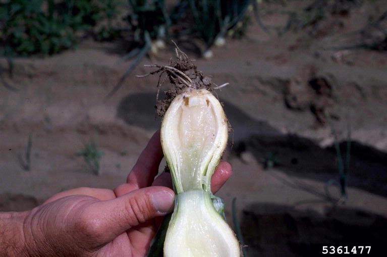 бактериальная мягкая (мокрая) гниль чеснока и лука. симптомы на луковице, фото