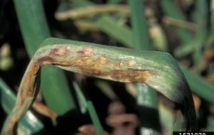 Хвороби та шкідники часнику і цибулі - несправжня мучниста роса , фото